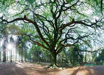 Hêtre. Forêt de Brocéliande.