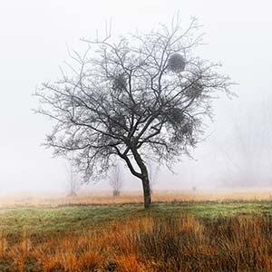 Pommiers dans la brume